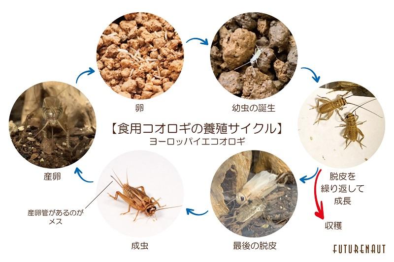 食用コオロギの養殖サイクル