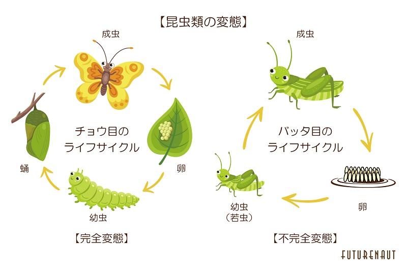 昆虫類の変態
